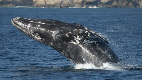 Whale Watching in Gray Whale Season, With Dana Wharf Sportfishing $19.00 ($45 value)