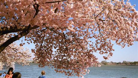 Cherry Blossom Walking Tour: