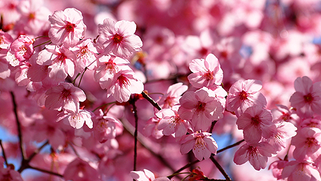 See the Cherry Blossoms on a 50-Minute Springtime Harbor Cruise $15.00 ($30 value)