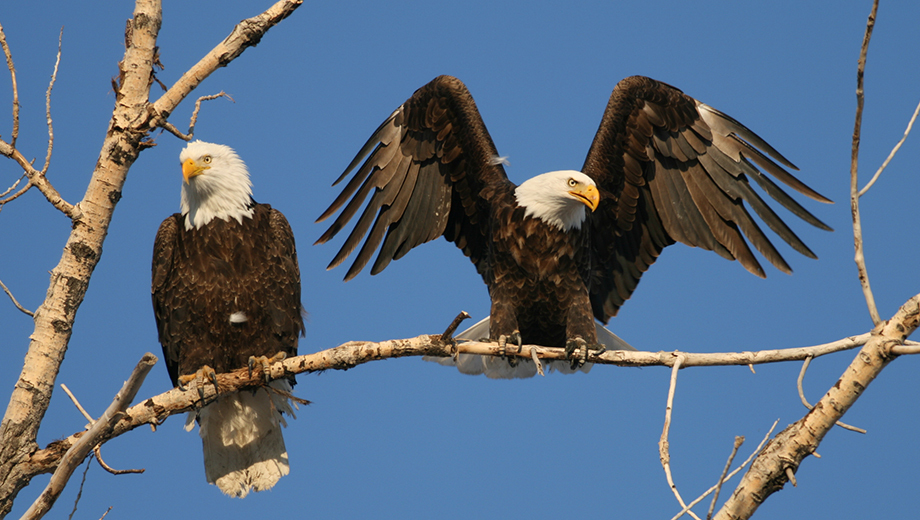 Watch Majestic Birds During the North Cascades Winter Eagle Festival $70.00 ($140 value)