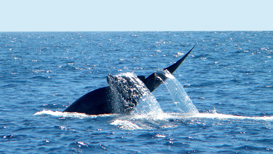 Blue Whale Watching & Sea Life Galore With Hornblower Cruises $32.50 - $37.50 ($65 value)