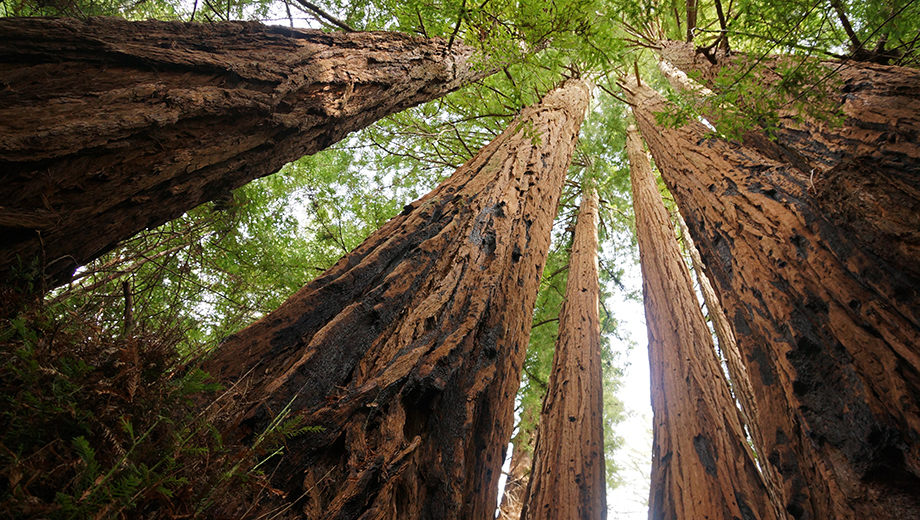 Experience the Majestic Muir Woods on a Day Tour $27.00 ($54 value)