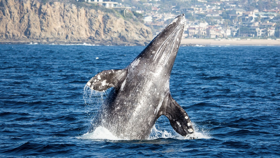 See Whales and Dolphins in Newport Beach's Huge Marine Sanctuary With Davey's Locker Tours COMP - $13.00 ($2.5 value)