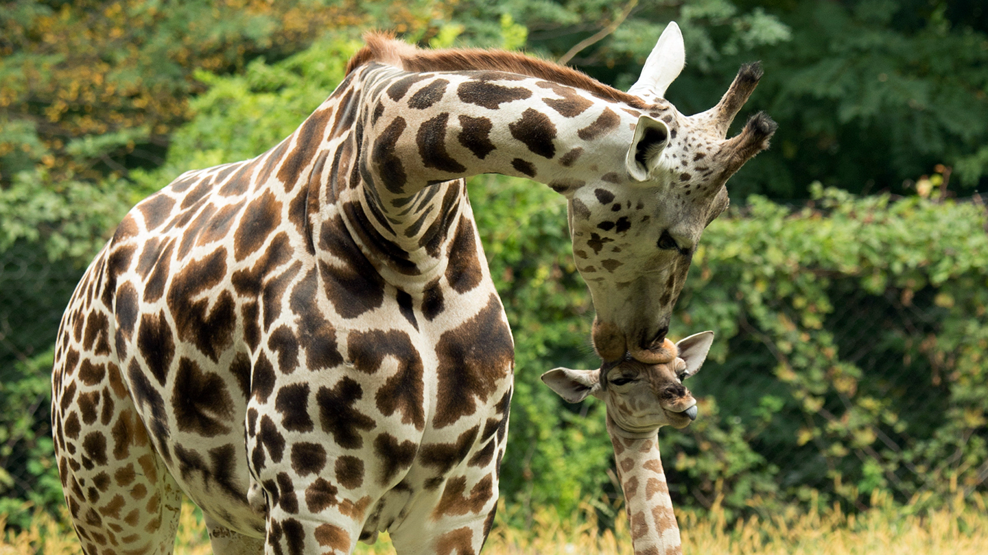 The Bronx Zoo: Animals, Rides, Attractions & Food $11.75 - $17.00 ($15.95 value)