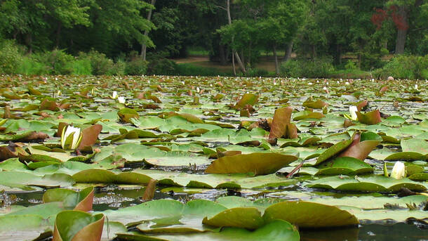 Kenilworth Aquatic Gardens Walking Tour Washington, D.C. Tickets - n ...