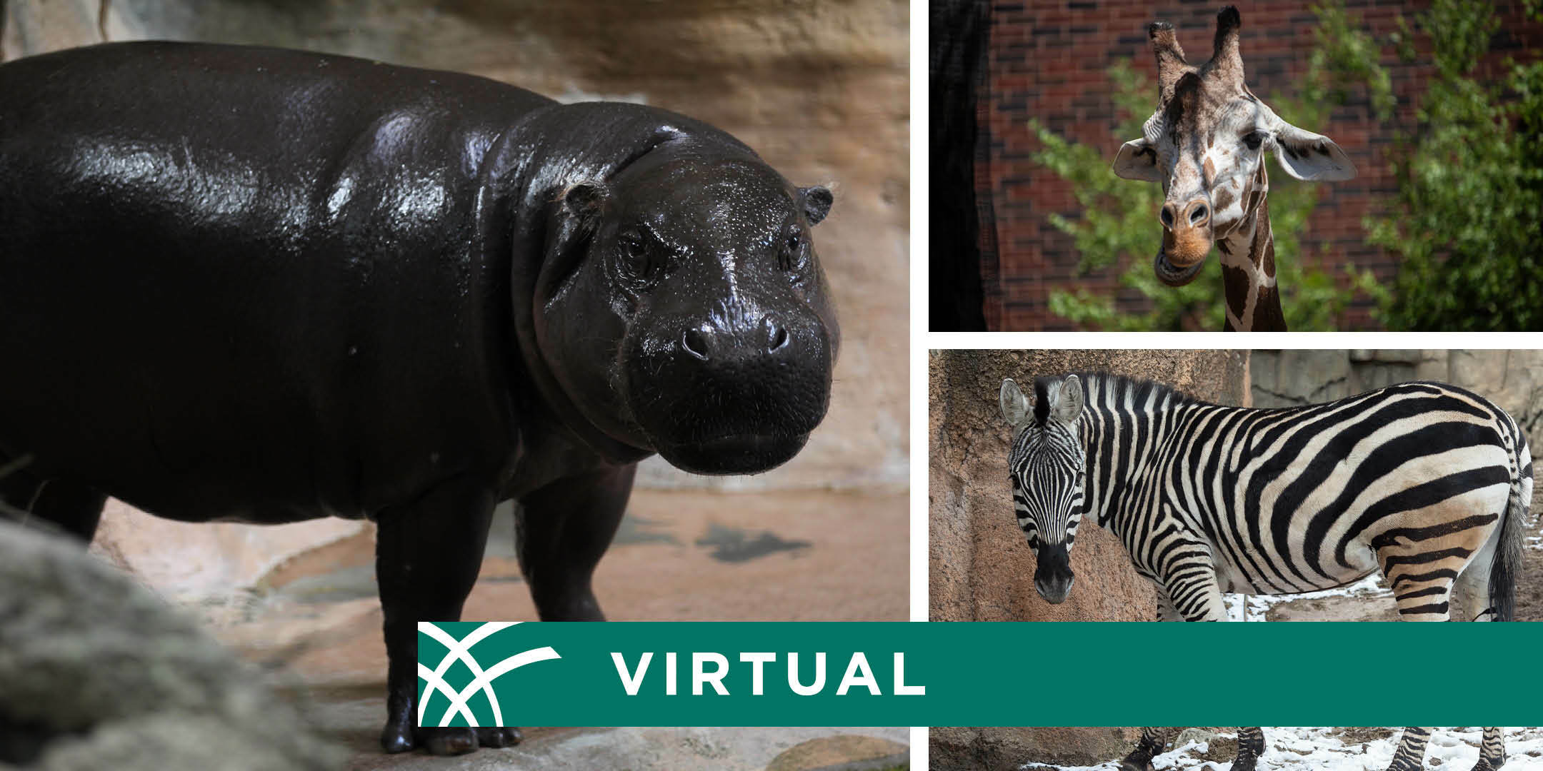 Live Virtual Meet and Greet with a Lincoln Park Zoo Animal