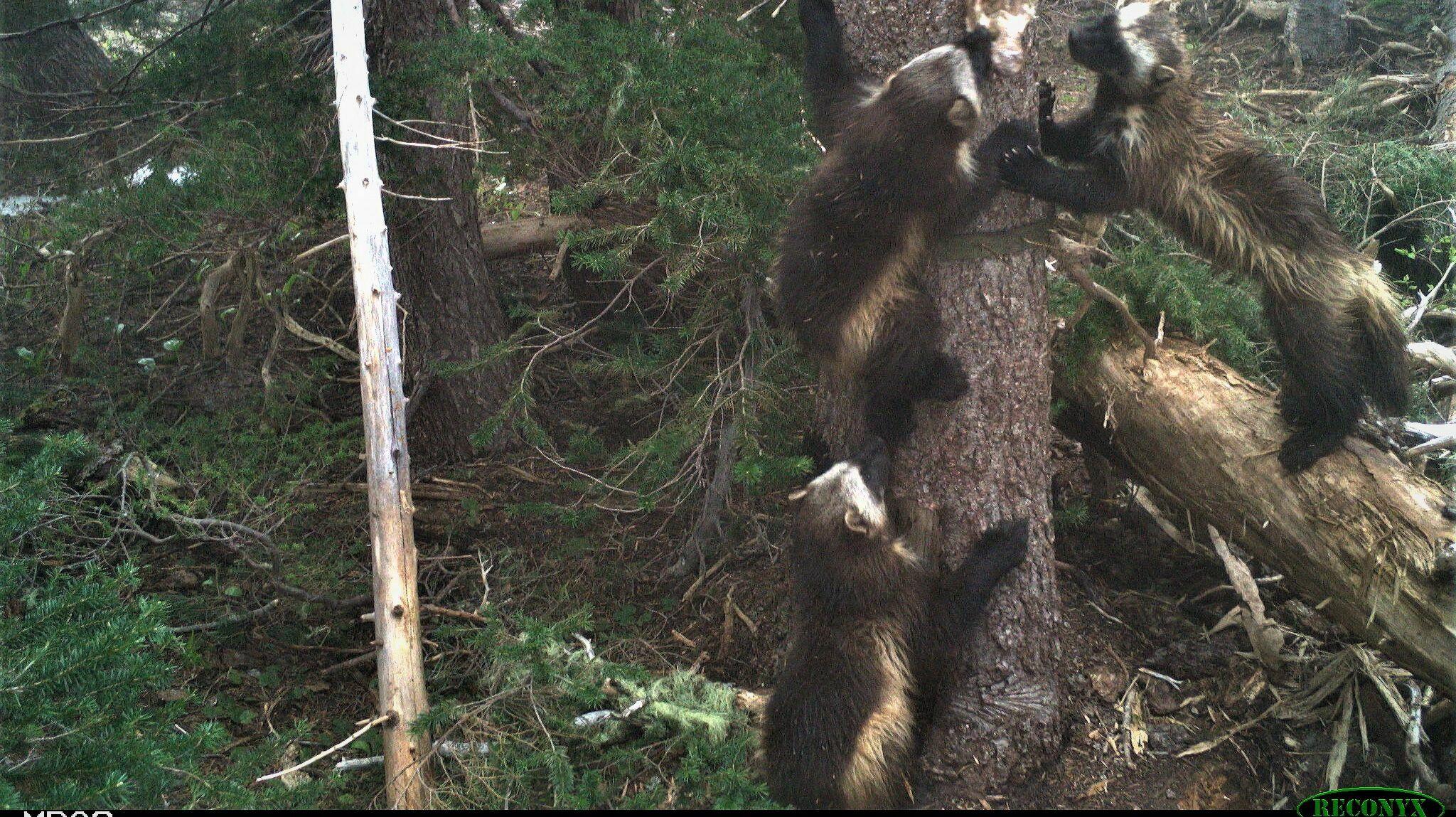 Monitoring Rare Carnivores in Mount Rainier National Park -- Online