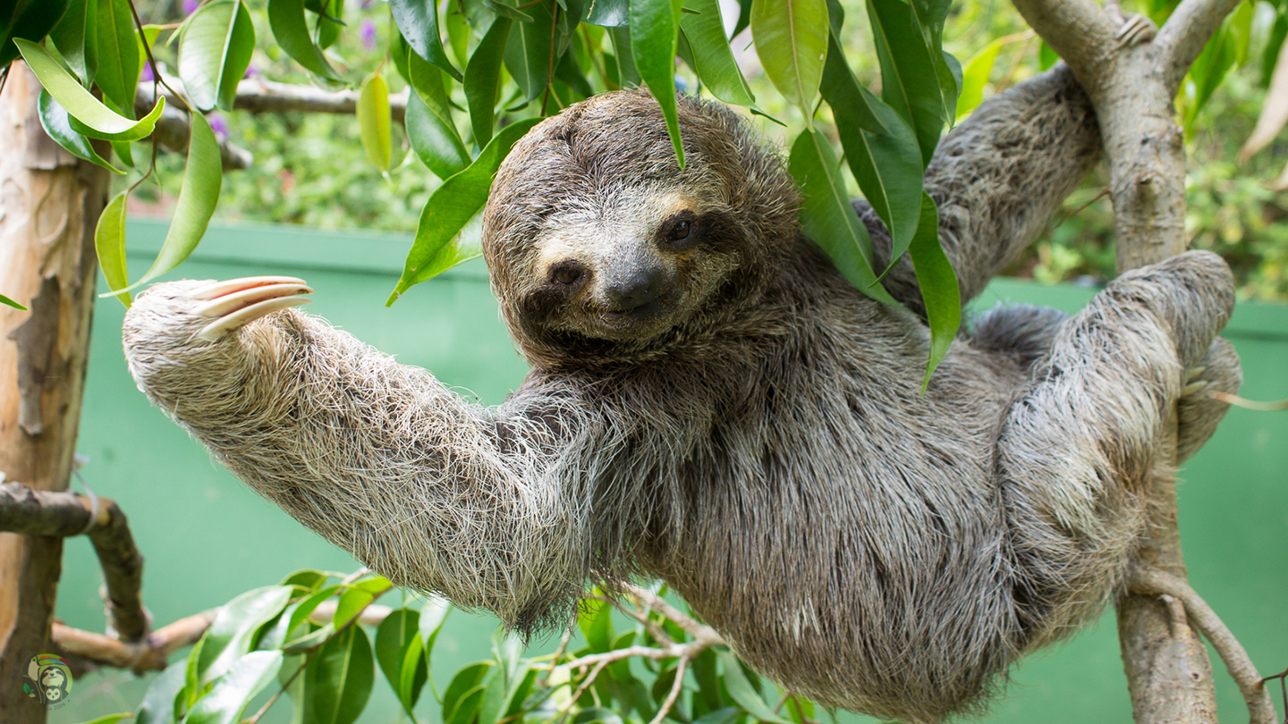 Sloth Virtual Tour from Toucan Rescue Ranch in Costa Rica