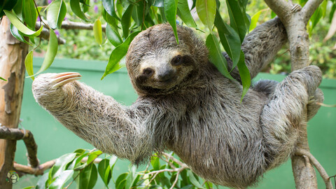 1619557685 Sloth Virtual Tour from Toucan Rescue Ranch in Costa Rica tickets