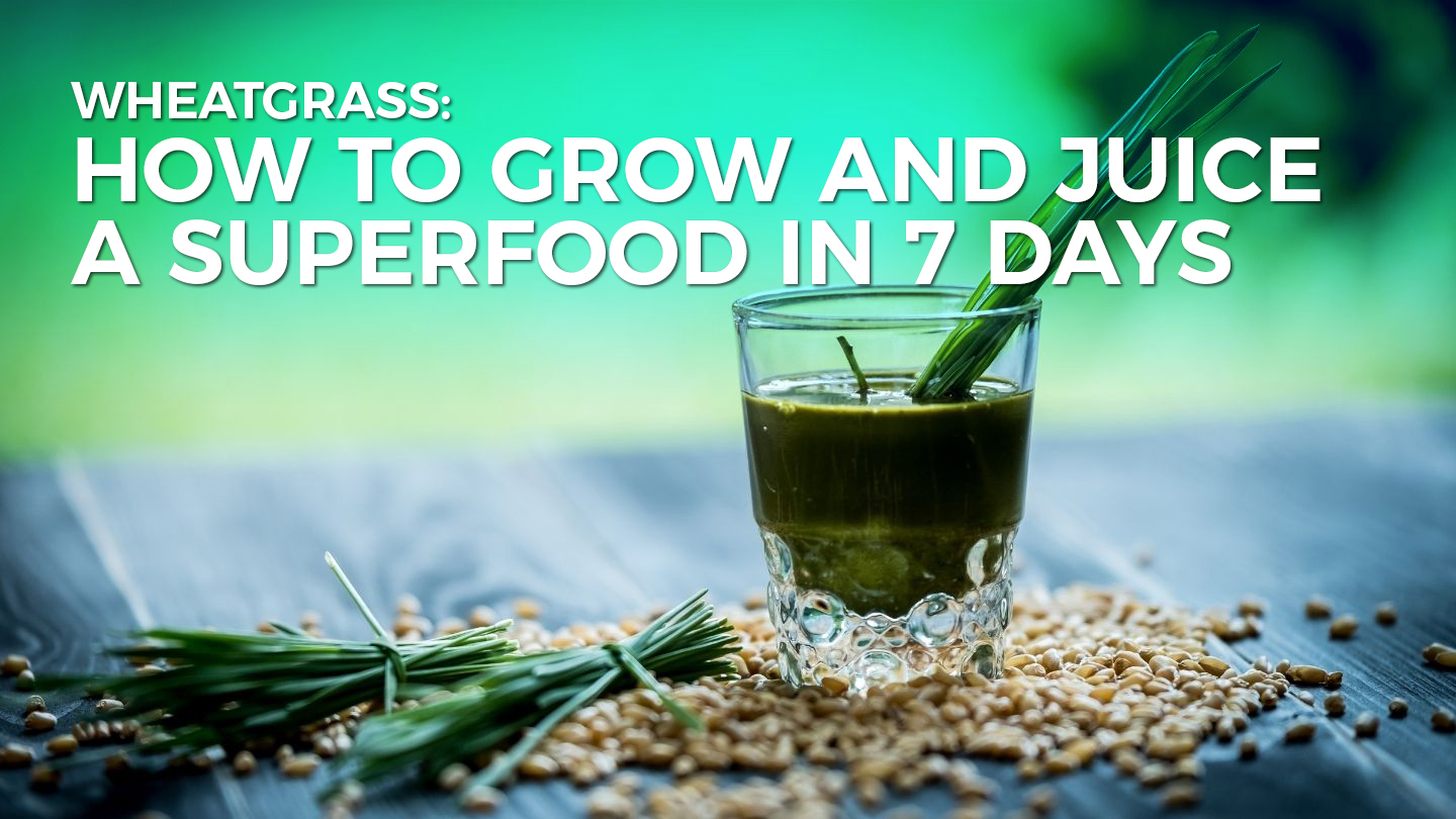 Wheatgrass: How To Grow And Juice A Superfood In 7 Days - Online